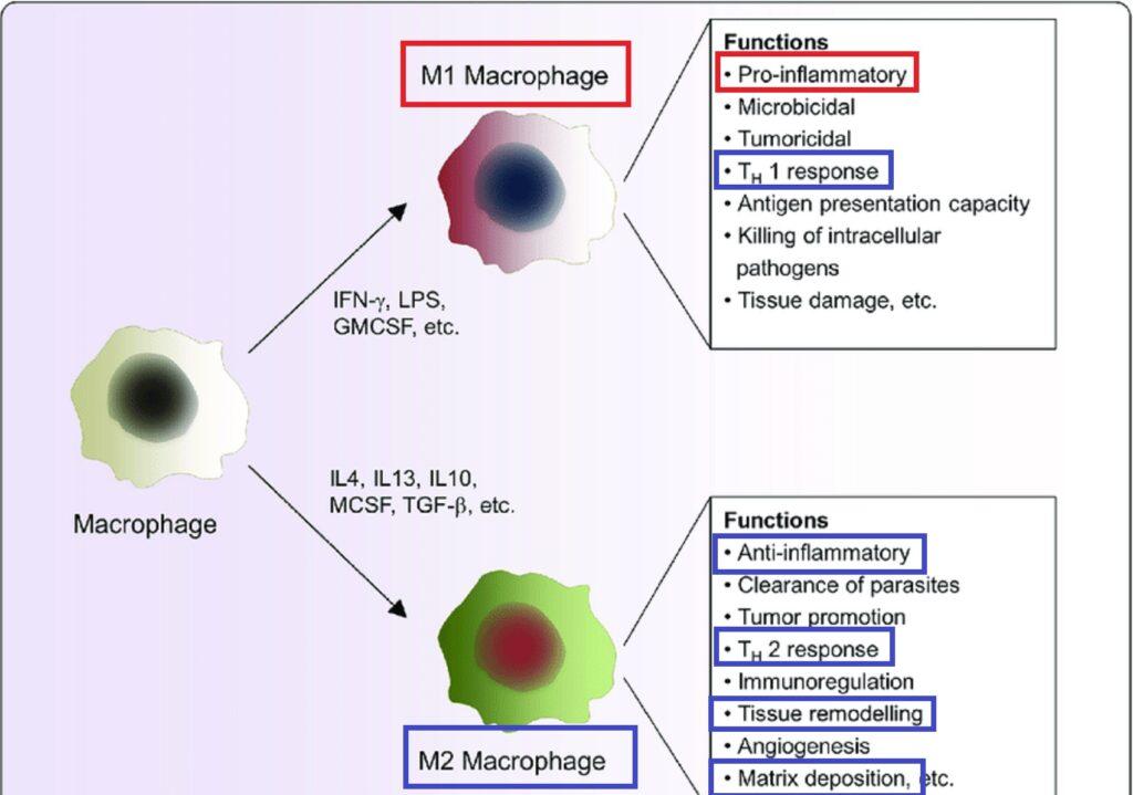 M1 M2マクロファージの作用の差異をまとめた図