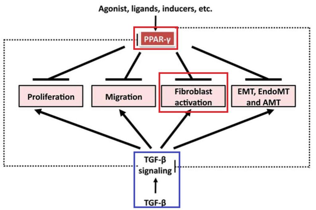脂質代謝制御転写因子による線維芽細胞活性化の抑制についてまとめた図