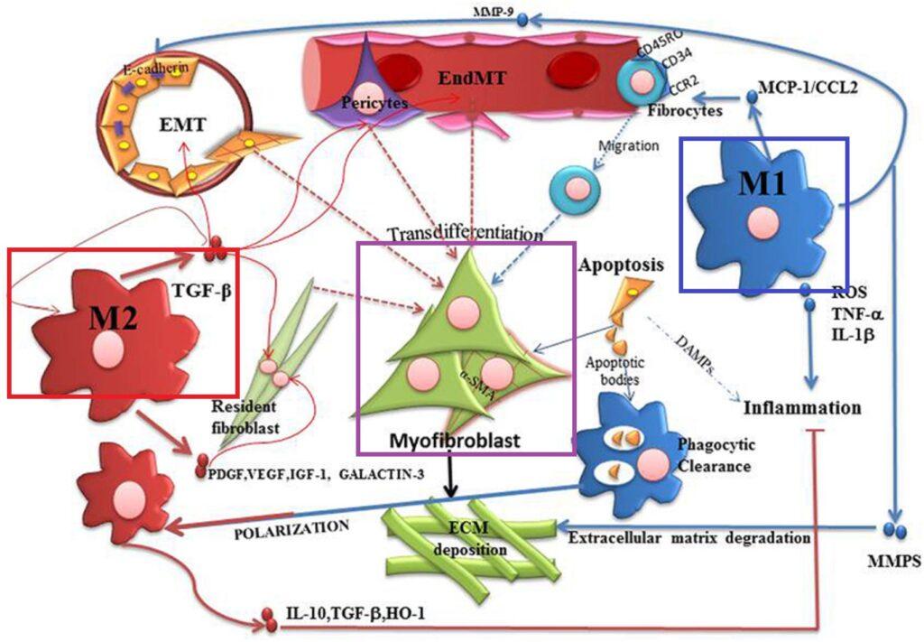 M1 M2マクロファージの線維芽細胞への作用の差異をまとめた図