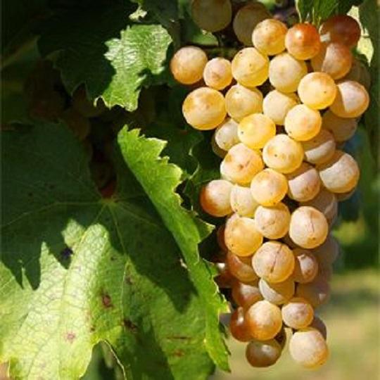 フリウラーノのブドウ