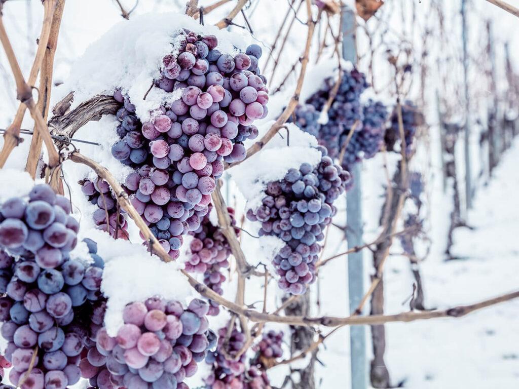 木についたまま氷結したブドウ