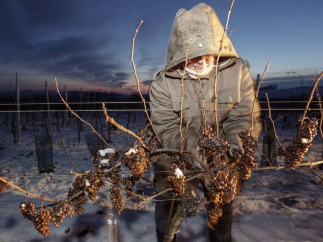 朝まだ暗いうちにブドウを摘み取る人たち