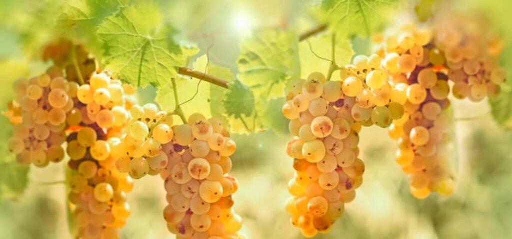 栽培されている白ブドウ