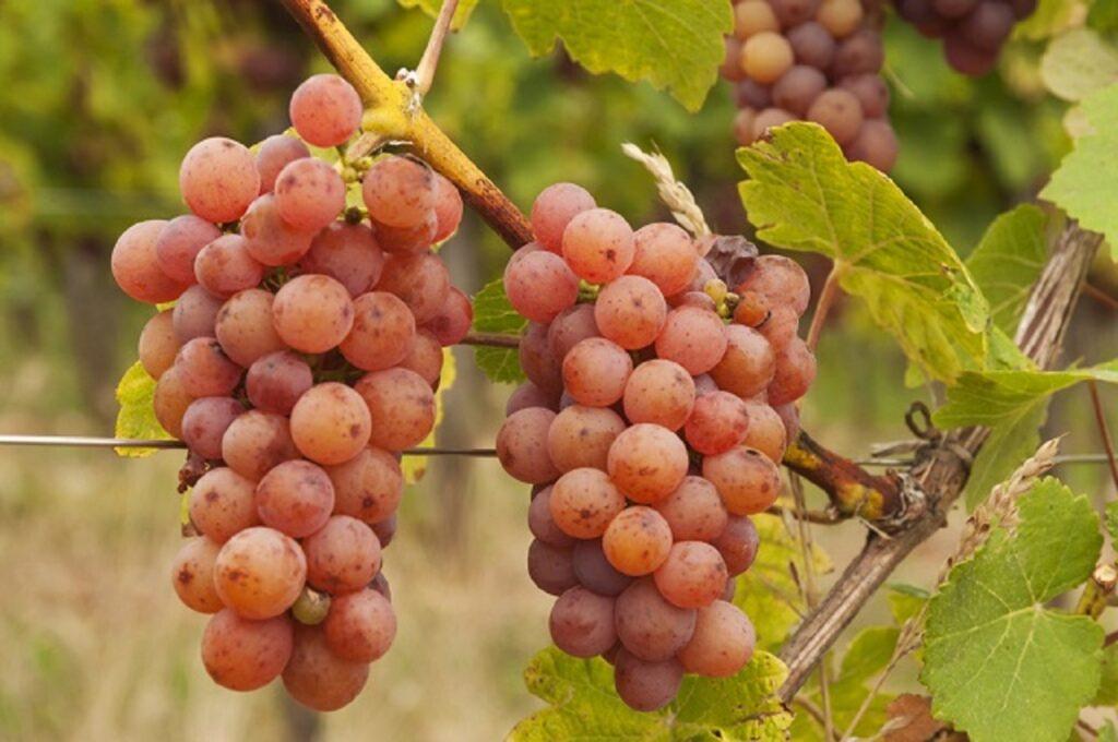 ゲヴェルツトラミネールのブドウ