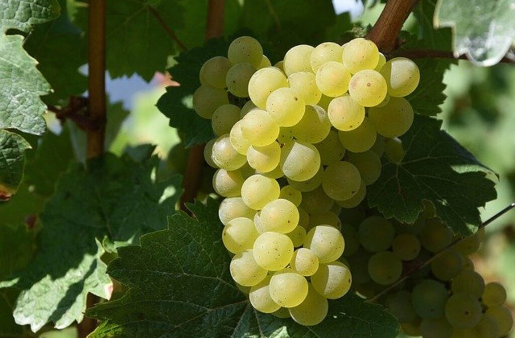 ミュスカのブドウ