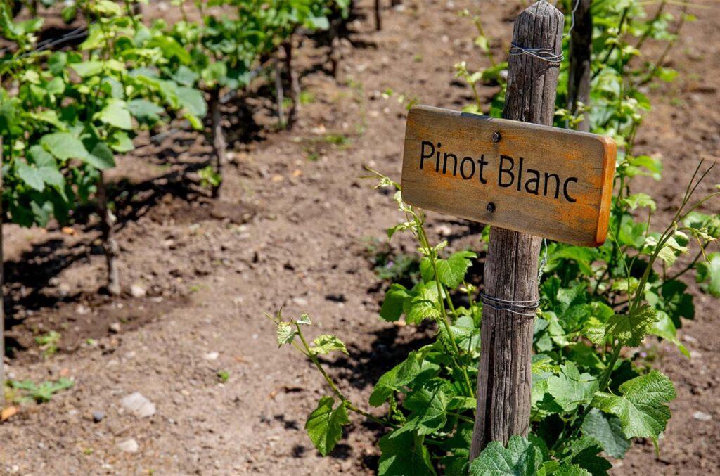 ピノ・ブランを栽培する畑