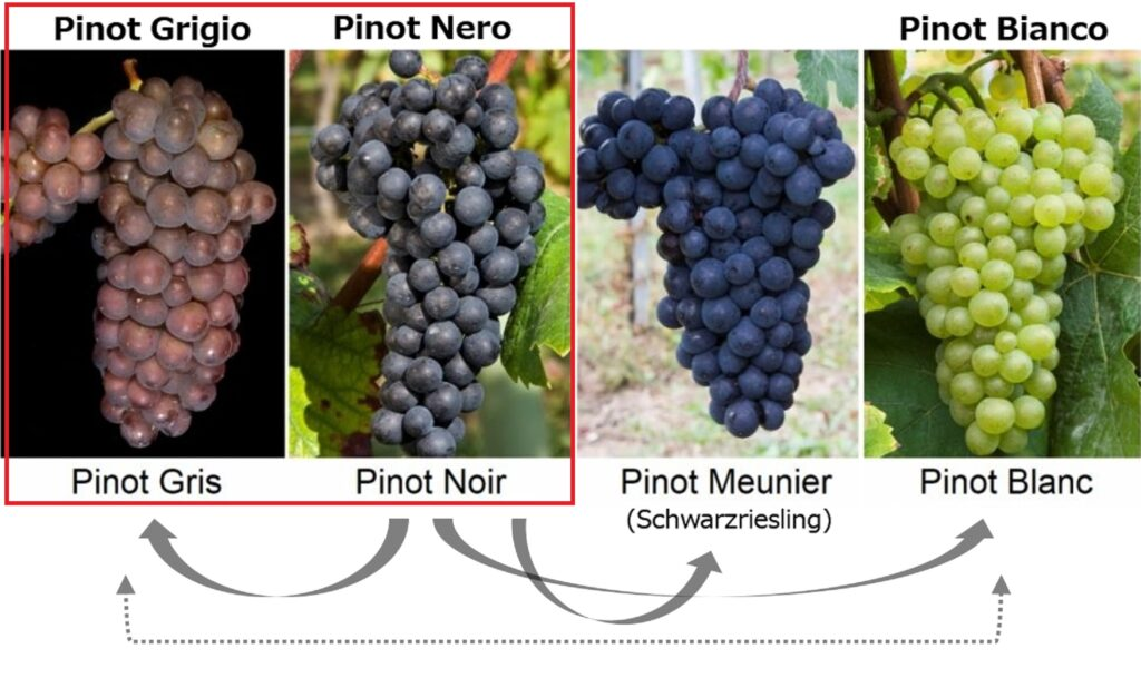 ピノ・ノワールとピノ・ブランの外観を比較した写真