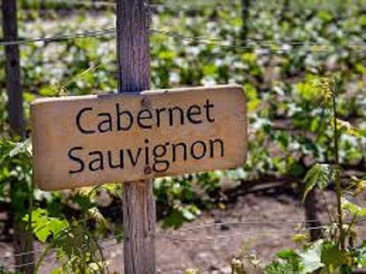 カベルネ・ソーヴィニヨンを栽培するブドウ畑