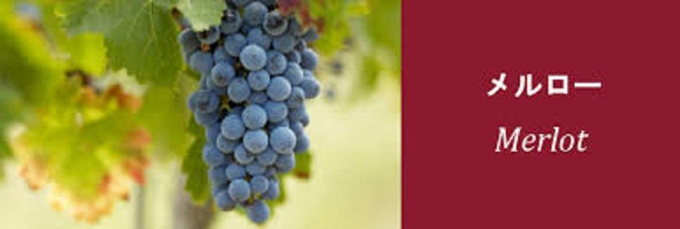 メルロのブドウ