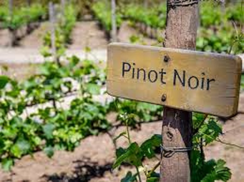ピノ・ノワールの畑