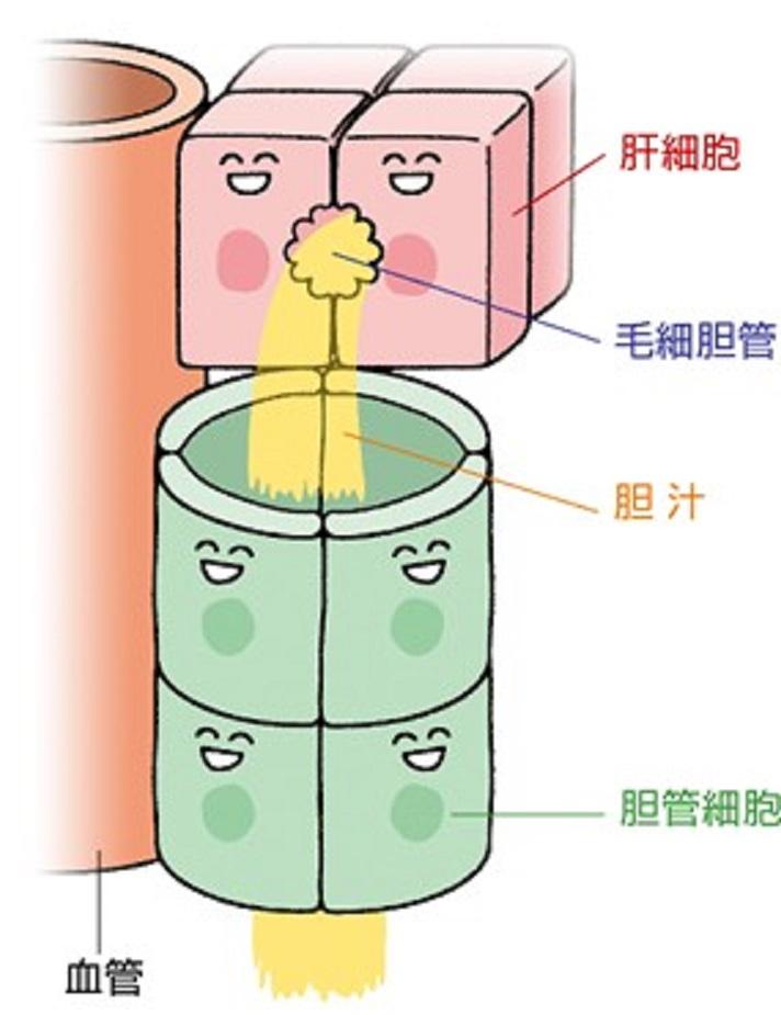 毛細胆管と胆管