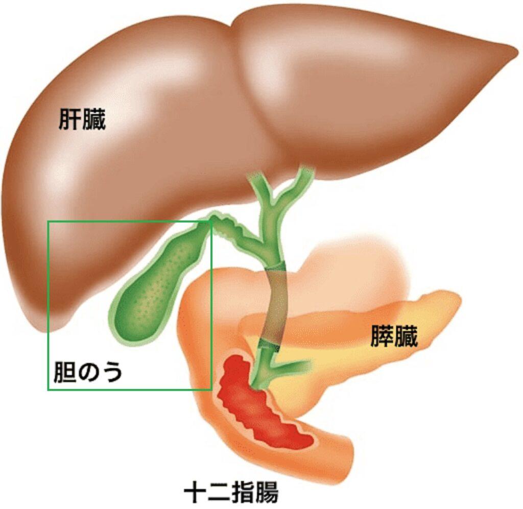 胆のうの位置を示す図
