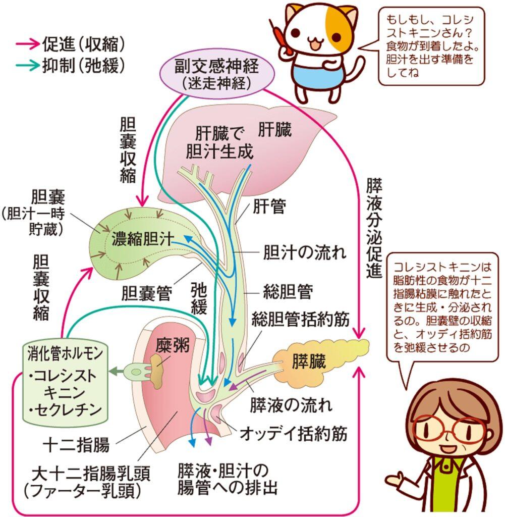 胆のうの詳しい働きをまとめた図