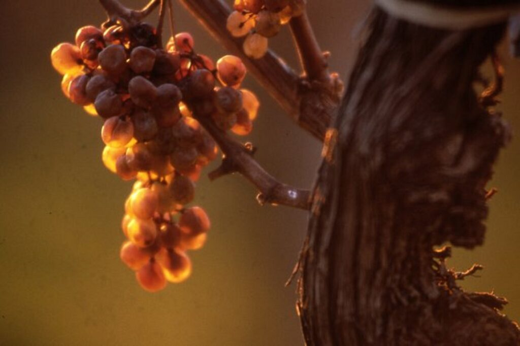 樹上で乾燥状態になったブドウの房