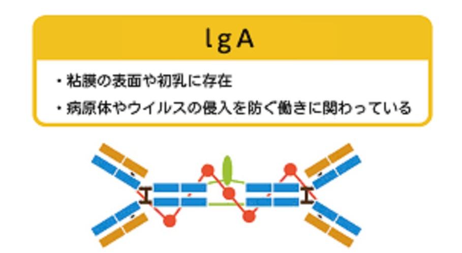 胆道閉塞 胆汁うっ滞による免疫機能の低下を説明する図